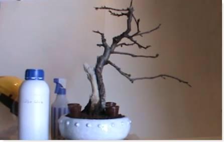 Mantenimiento de la madera muerta en bonsais
