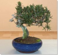 Bonsai Romero – Rosmarinum Officinalis