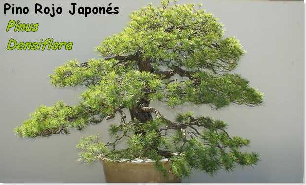 Pino rojo japonés – pinus densiflora